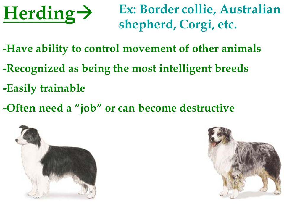 Terriers  Ex: Airedale, Westie, Fox terrier, etc.