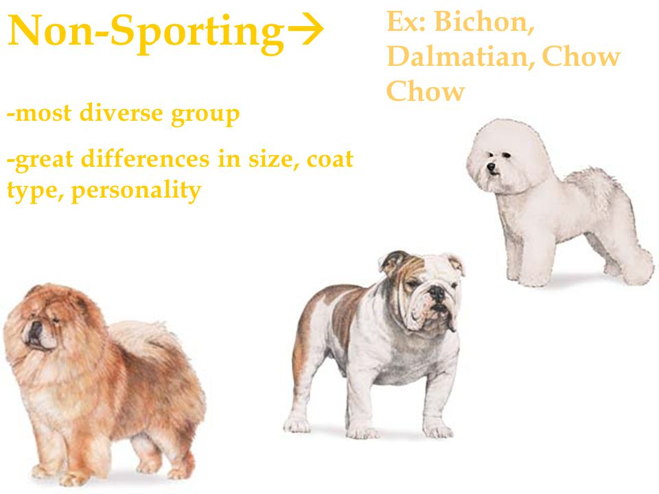 Non-Sporting  -most diverse group -great differences in size, coat type, personality Ex: Bichon, Dalmatian, Chow Chow