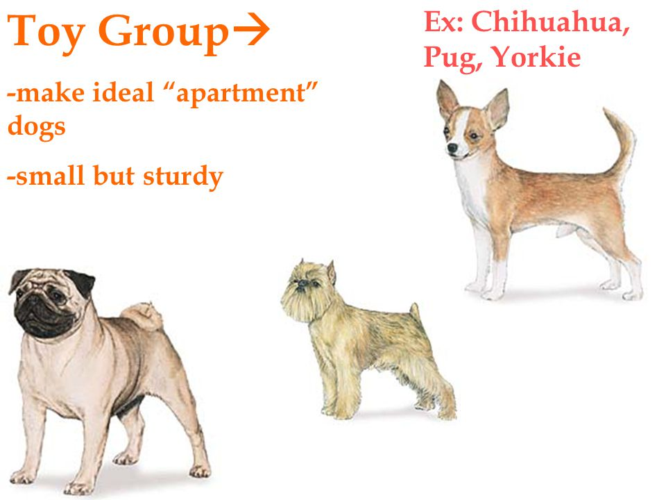 -make ideal apartment dogs -small but sturdy Toy Group  Ex: Chihuahua, Pug, Yorkie