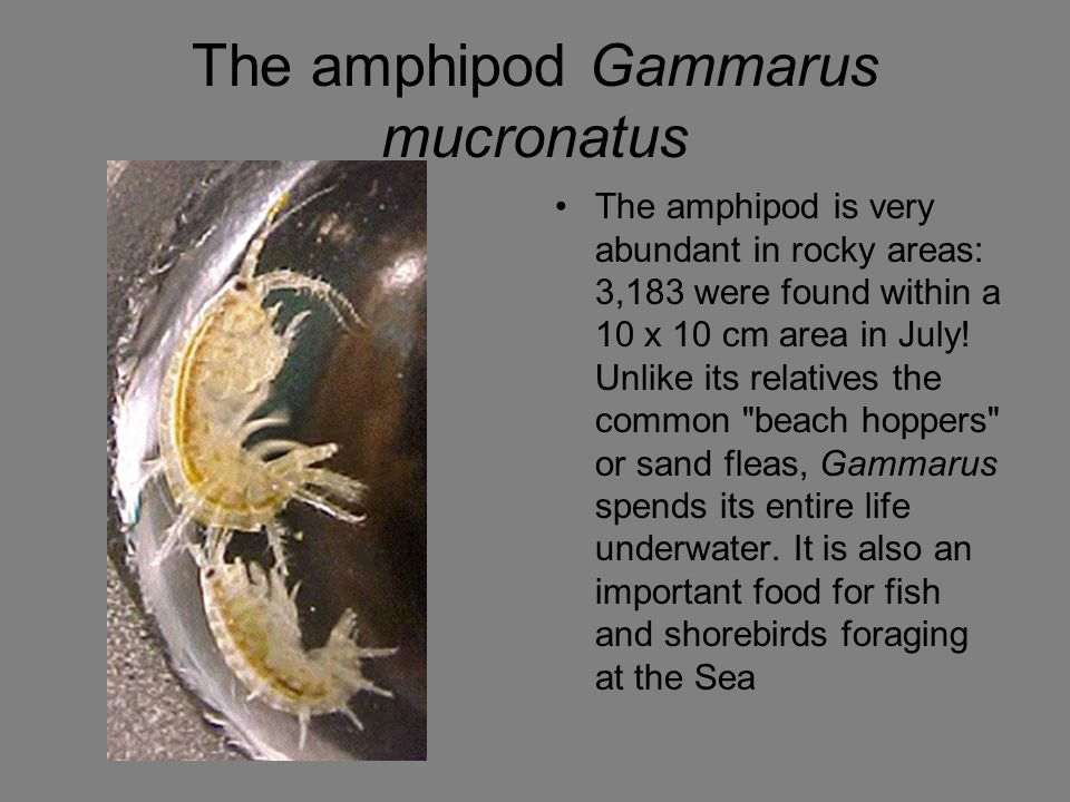 The amphipod Gammarus mucronatus The amphipod is very abundant in rocky areas: 3,183 were found within a 10 x 10 cm area in July.