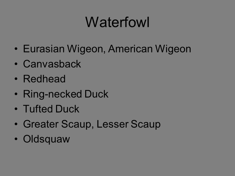 Waterfowl Eurasian Wigeon, American Wigeon Canvasback Redhead Ring-necked Duck Tufted Duck Greater Scaup, Lesser Scaup Oldsquaw