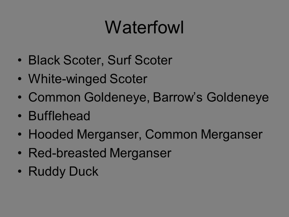 Waterfowl Black Scoter, Surf Scoter White-winged Scoter Common Goldeneye, Barrow's Goldeneye Bufflehead Hooded Merganser, Common Merganser Red-breasted Merganser Ruddy Duck