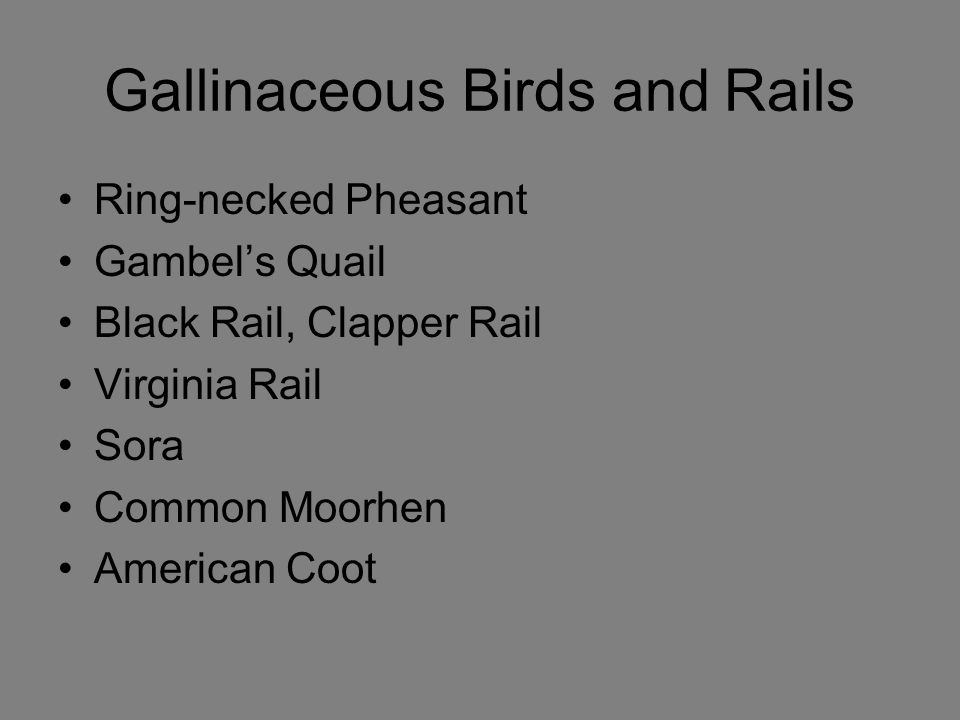 Gallinaceous Birds and Rails Ring-necked Pheasant Gambel's Quail Black Rail, Clapper Rail Virginia Rail Sora Common Moorhen American Coot
