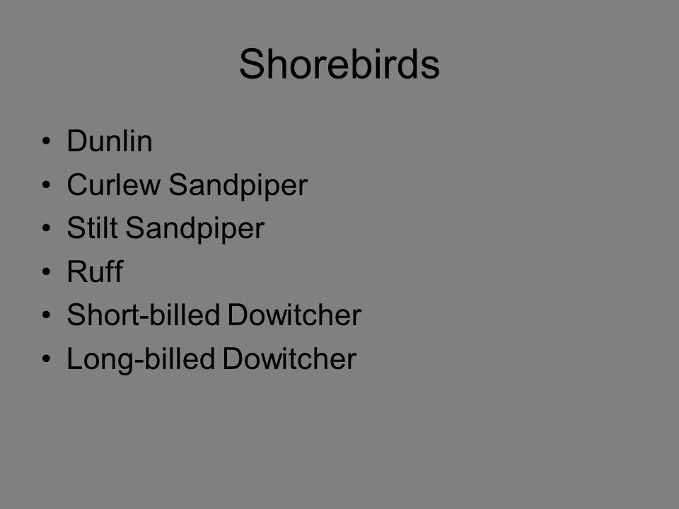 Shorebirds Dunlin Curlew Sandpiper Stilt Sandpiper Ruff Short-billed Dowitcher Long-billed Dowitcher
