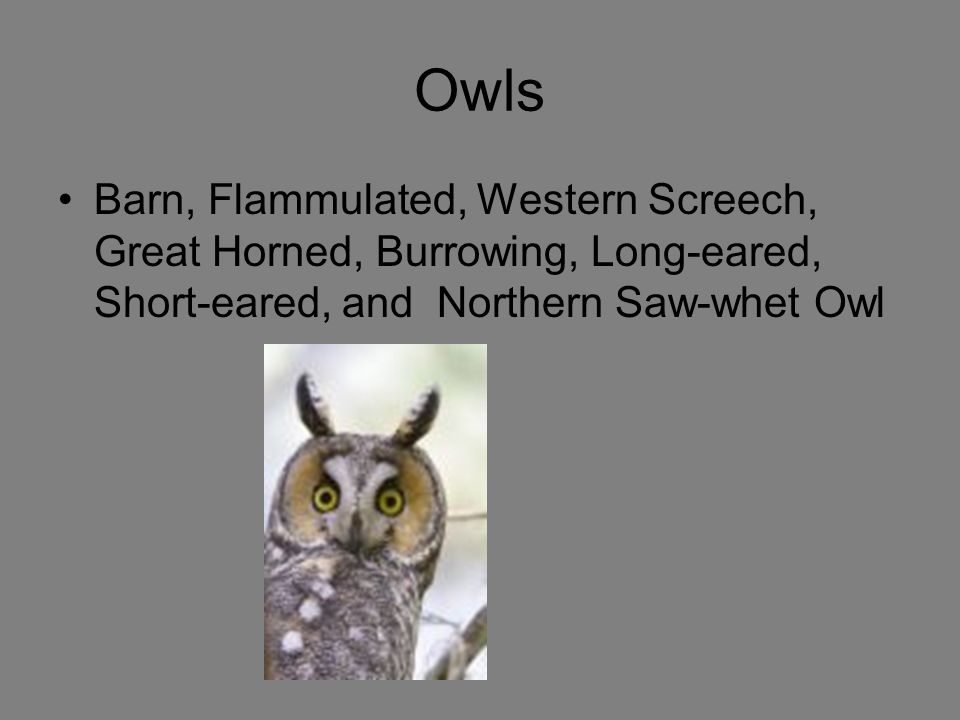 Owls Barn, Flammulated, Western Screech, Great Horned, Burrowing, Long-eared, Short-eared, and Northern Saw-whet Owl