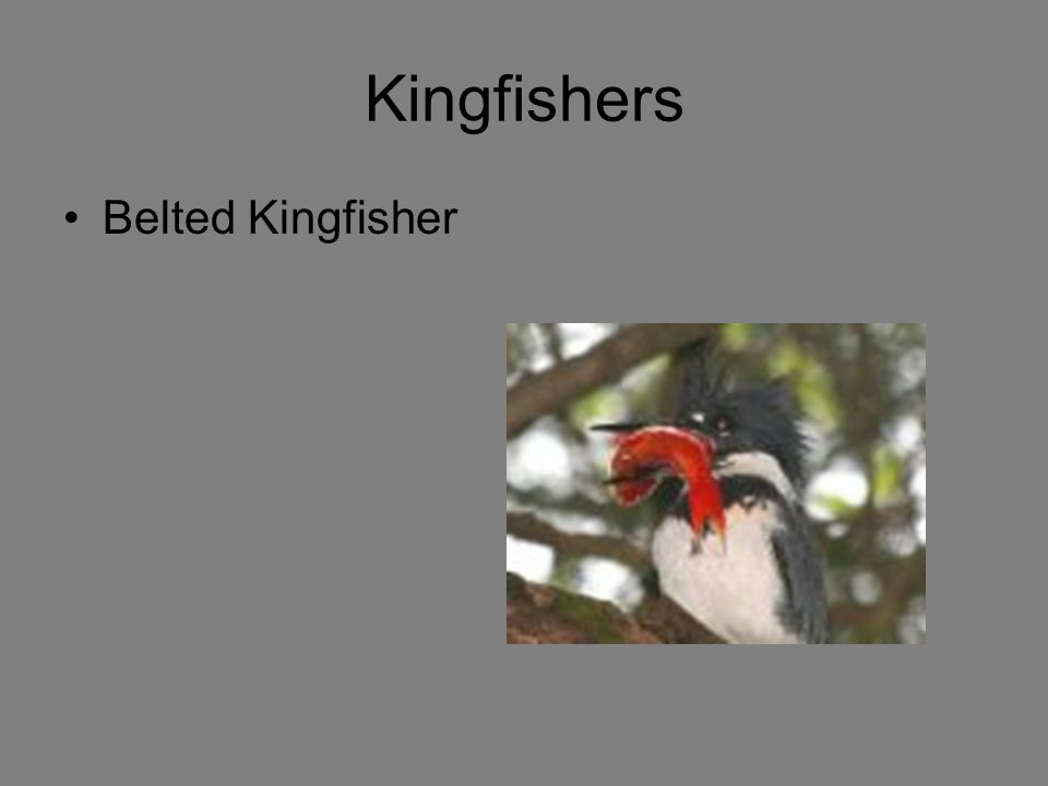 Kingfishers Belted Kingfisher