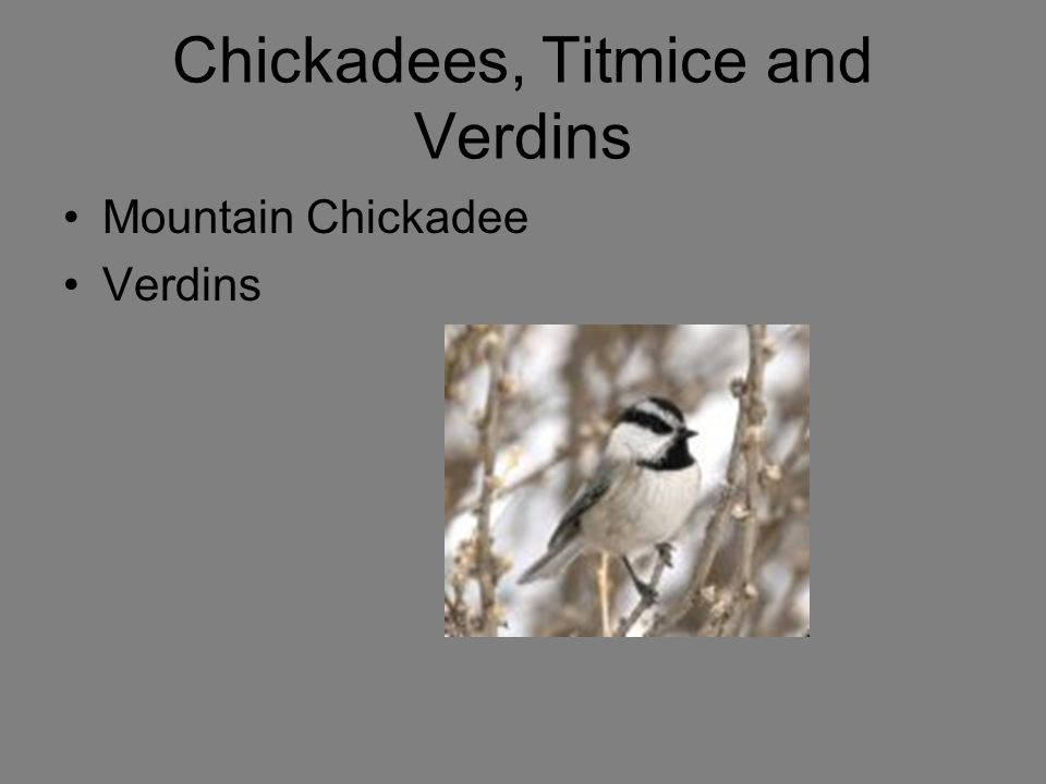 Chickadees, Titmice and Verdins Mountain Chickadee Verdins
