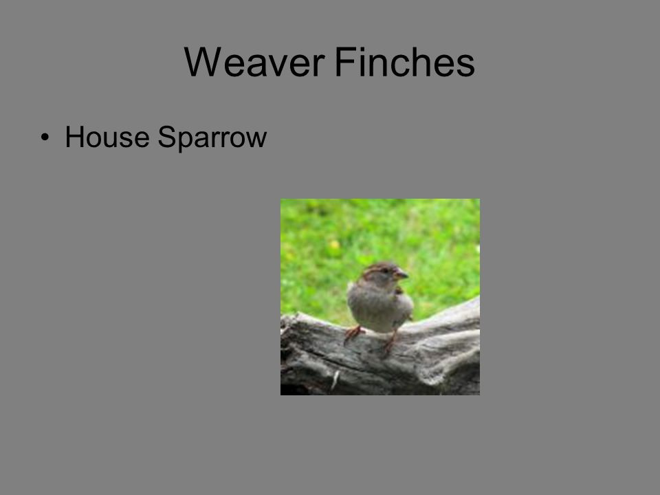 Weaver Finches House Sparrow