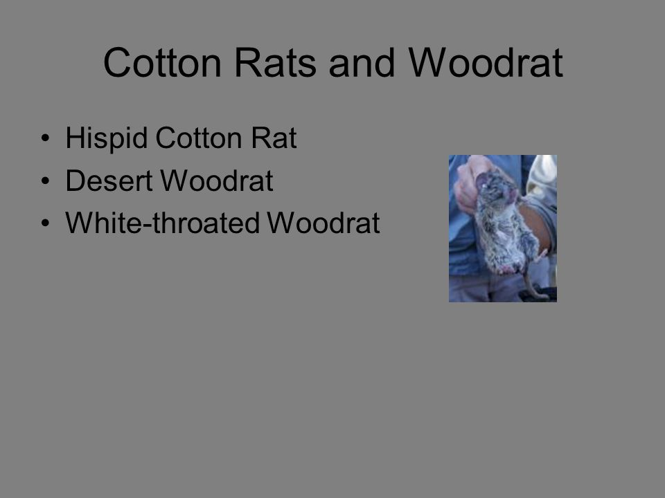 Cotton Rats and Woodrat Hispid Cotton Rat Desert Woodrat White-throated Woodrat
