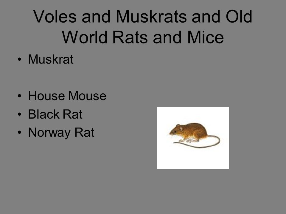 Voles and Muskrats and Old World Rats and Mice Muskrat House Mouse Black Rat Norway Rat