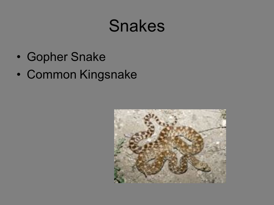 Snakes Gopher Snake Common Kingsnake