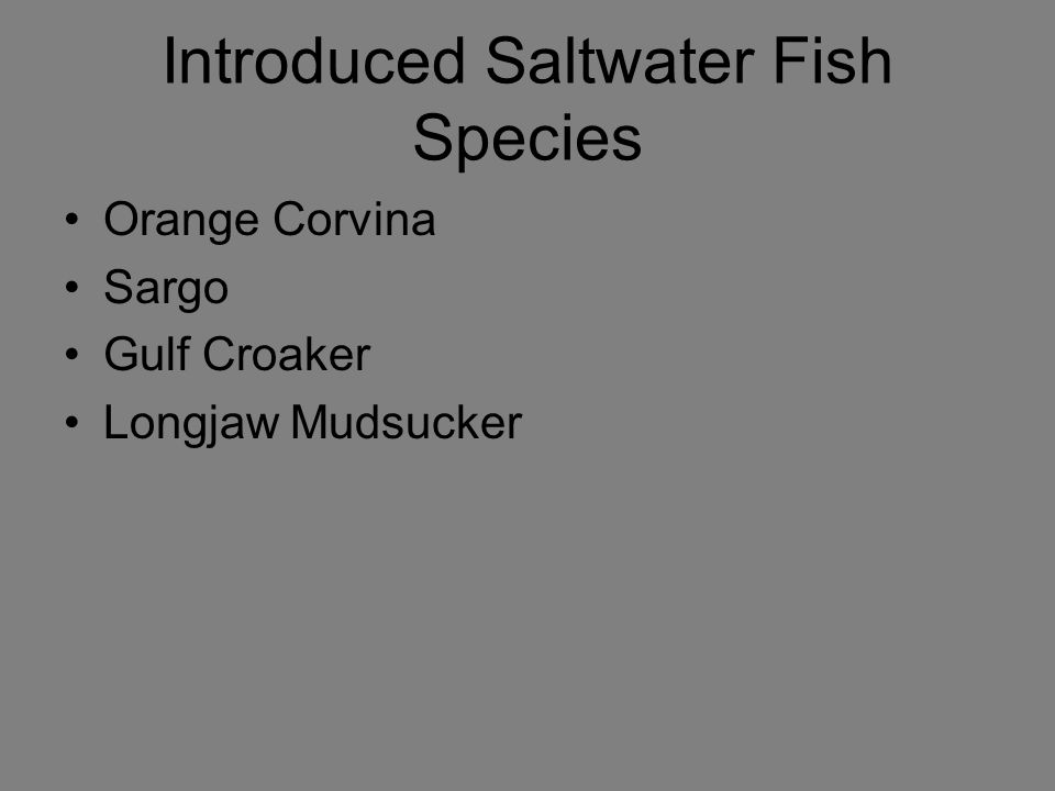 Introduced Saltwater Fish Species Orange Corvina Sargo Gulf Croaker Longjaw Mudsucker