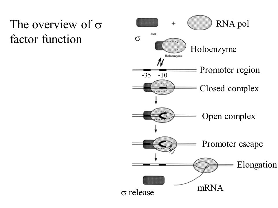  RNA pol Holoenzyme Promoter region Closed complex Open complex Promoter escape Elongation mRNA  release -35 -10 The overview of  factor function