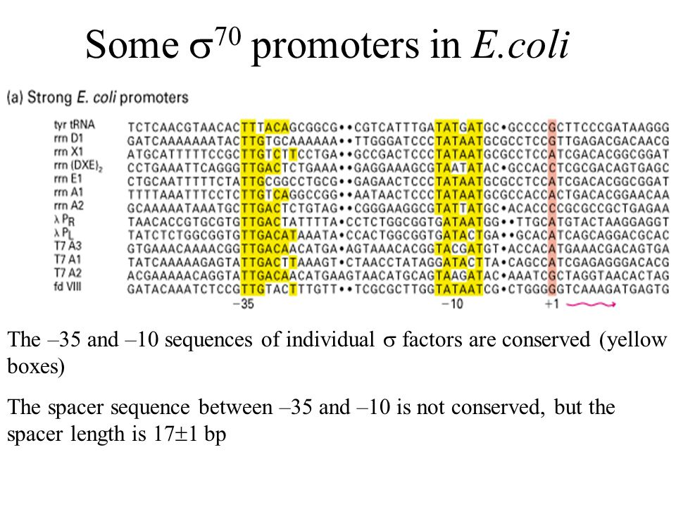 Some  70 promoters in E.coli The –35 and –10 sequences of individual  factors are conserved (yellow boxes) The spacer sequence between –35 and –10 is not conserved, but the spacer length is 17  1 bp