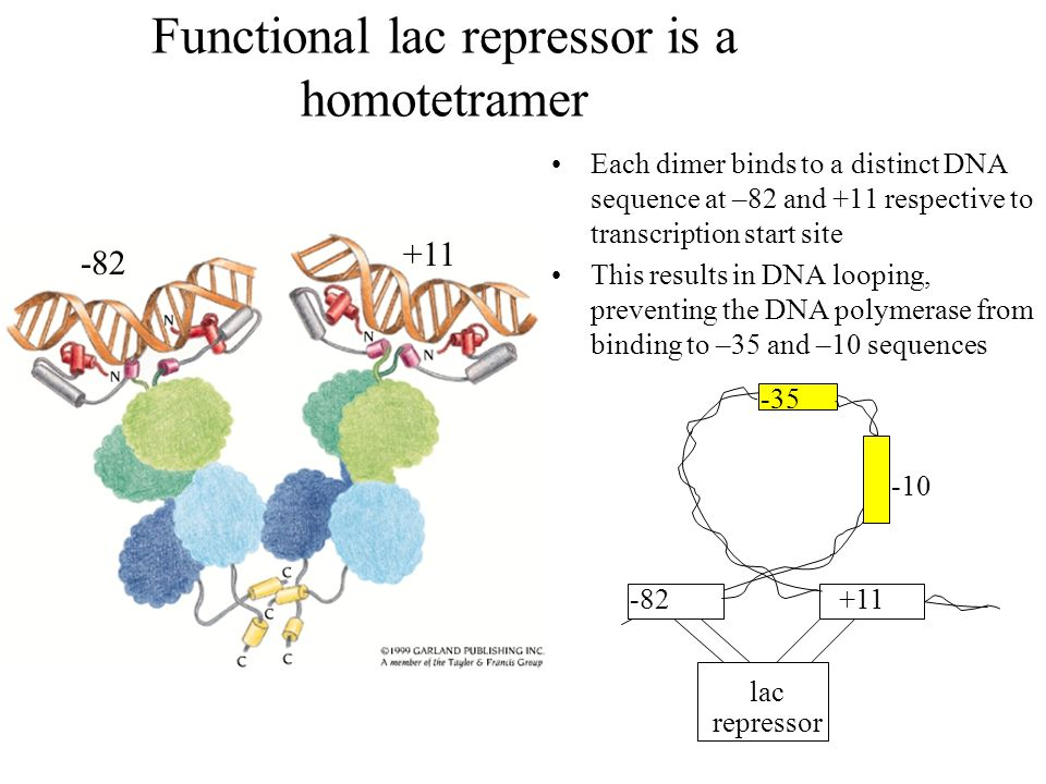 Functional lac repressor is a homotetramer Each dimer binds to a distinct DNA sequence at –82 and +11 respective to transcription start site This results in DNA looping, preventing the DNA polymerase from binding to –35 and –10 sequences -82 +11 lac repressor -35 -10 -82+11