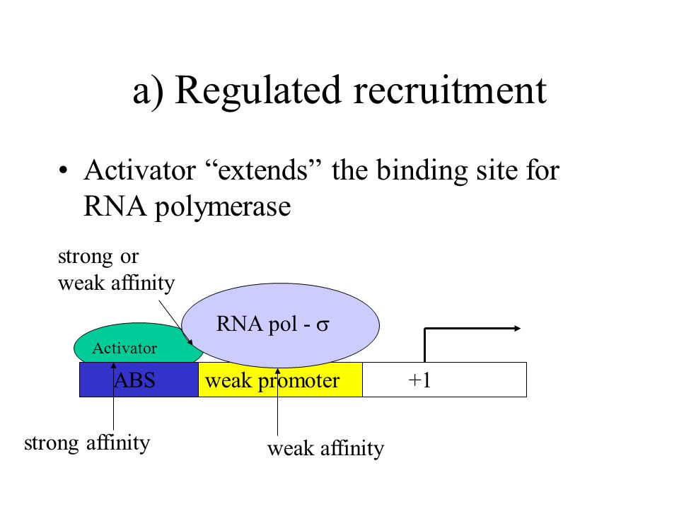 a) Regulated recruitment Activator extends the binding site for RNA polymerase weak promoter +1 ABS RNA pol -  Activator strong affinity weak affinity strong or weak affinity
