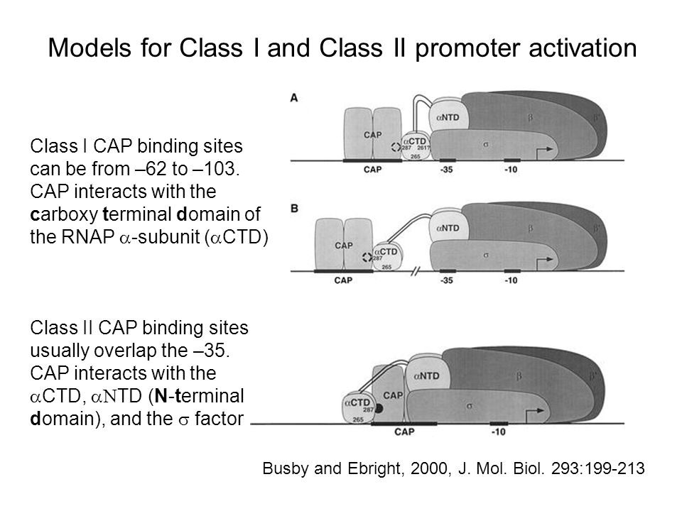 Models for Class I and Class II promoter activation Busby and Ebright, 2000, J.