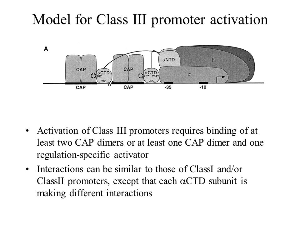 Model for Class III promoter activation Activation of Class III promoters requires binding of at least two CAP dimers or at least one CAP dimer and one regulation-specific activator Interactions can be similar to those of ClassI and/or ClassII promoters, except that each  CTD subunit is making different interactions