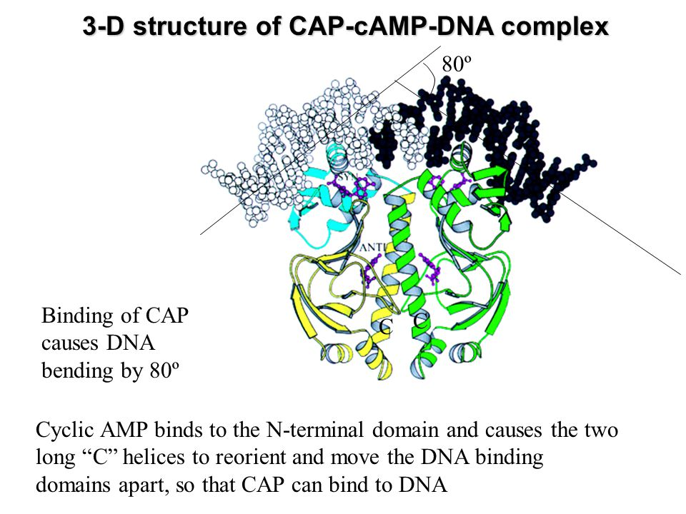 3-D structure of CAP-cAMP-DNA complex Cyclic AMP binds to the N-terminal domain and causes the two long C helices to reorient and move the DNA binding domains apart, so that CAP can bind to DNA 80º Binding of CAP causes DNA bending by 80º C C