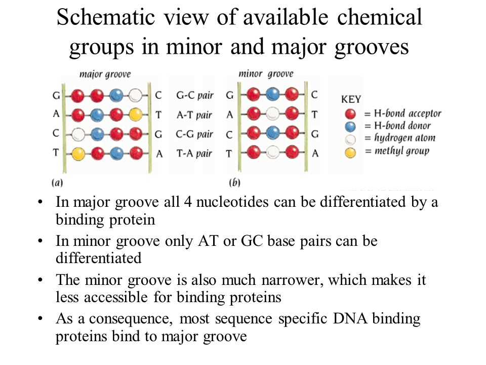 Schematic view of available chemical groups in minor and major grooves In major groove all 4 nucleotides can be differentiated by a binding protein In minor groove only AT or GC base pairs can be differentiated The minor groove is also much narrower, which makes it less accessible for binding proteins As a consequence, most sequence specific DNA binding proteins bind to major groove