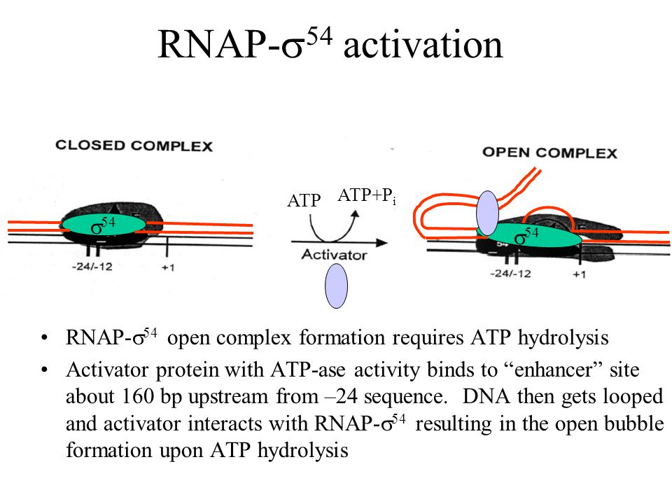 RNAP-  54 activation RNAP-  54 open complex formation requires ATP hydrolysis Activator protein with ATP-ase activity binds to enhancer site about 160 bp upstream from –24 sequence.
