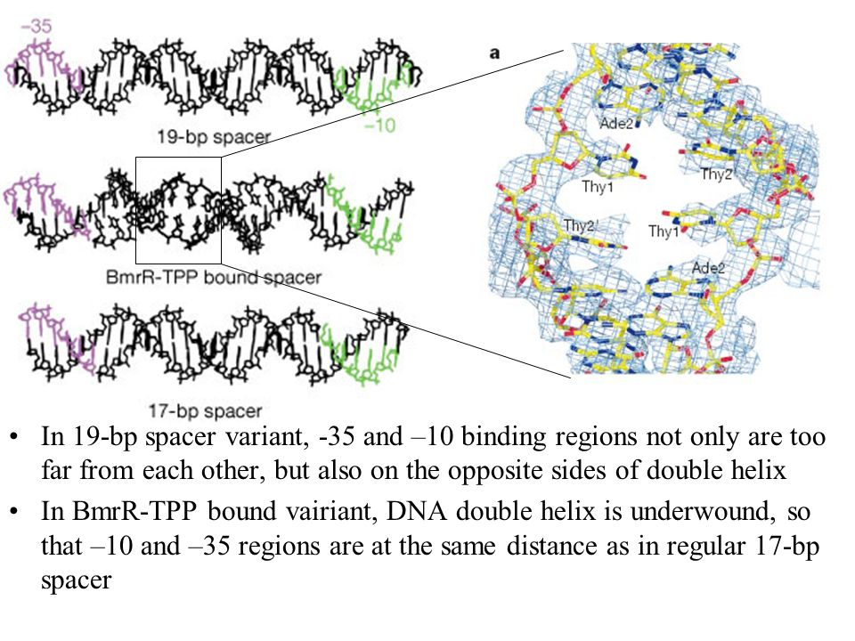 In 19-bp spacer variant, -35 and –10 binding regions not only are too far from each other, but also on the opposite sides of double helix In BmrR-TPP bound vairiant, DNA double helix is underwound, so that –10 and –35 regions are at the same distance as in regular 17-bp spacer
