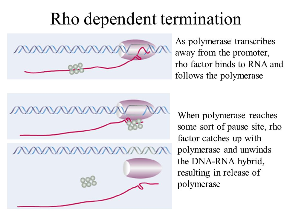 Rho dependent termination As polymerase transcribes away from the promoter, rho factor binds to RNA and follows the polymerase When polymerase reaches some sort of pause site, rho factor catches up with polymerase and unwinds the DNA-RNA hybrid, resulting in release of polymerase