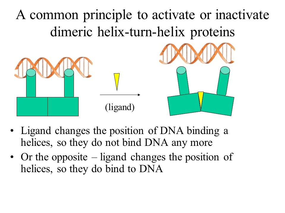 A common principle to activate or inactivate dimeric helix-turn-helix proteins Ligand changes the position of DNA binding a helices, so they do not bind DNA any more Or the opposite – ligand changes the position of helices, so they do bind to DNA (ligand)