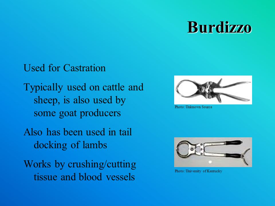 Burdizzo Used for Castration Typically used on cattle and sheep, is also used by some goat producers Also has been used in tail docking of lambs Works by crushing/cutting tissue and blood vessels Photo: Unknown Source Photo: University of Kentucky