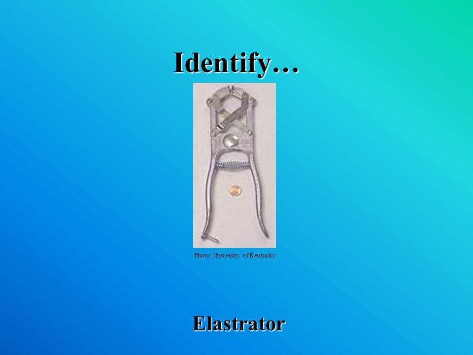 Identify… Elastrator Photo: University of Kentucky