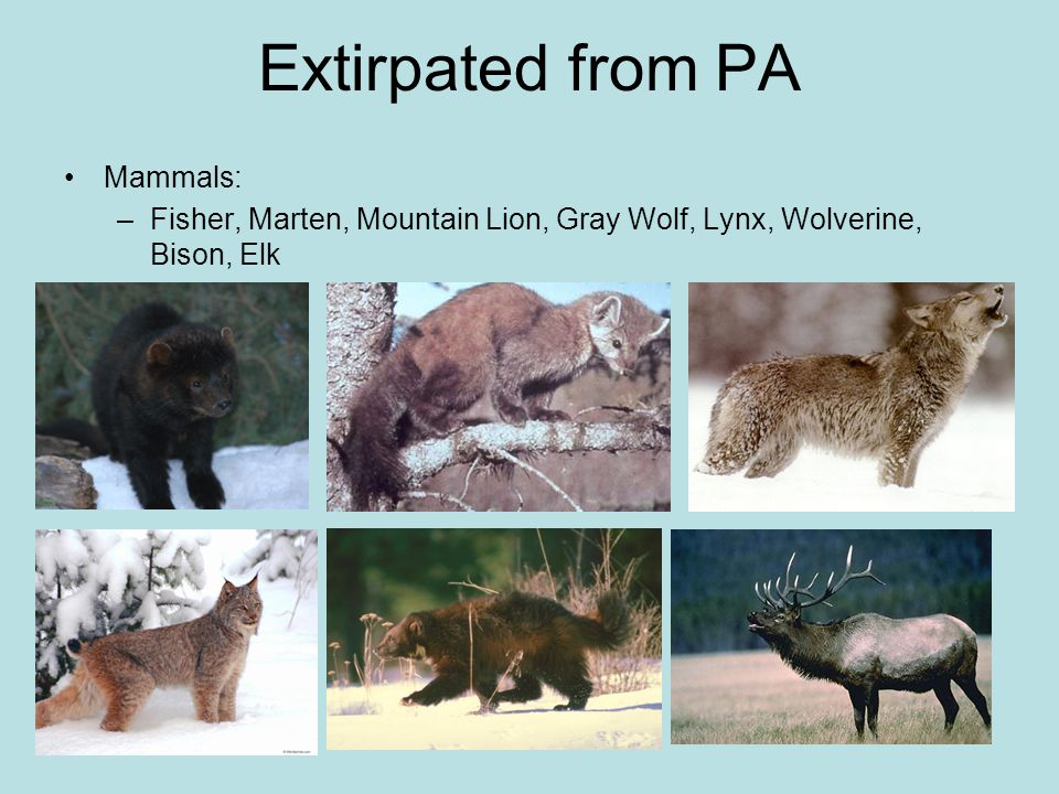 Extirpated from PA Mammals: –Fisher, Marten, Mountain Lion, Gray Wolf, Lynx, Wolverine, Bison, Elk