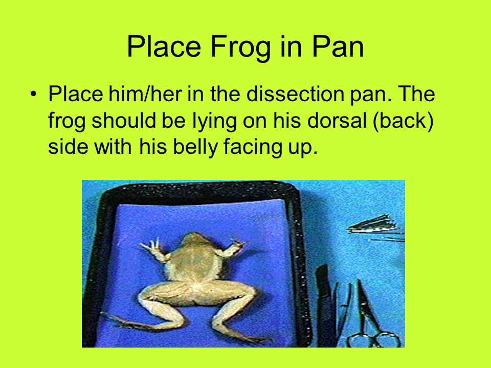 Place Frog in Pan Place him/her in the dissection pan. The frog should be lying on his dorsal (back) side with his belly facing up.