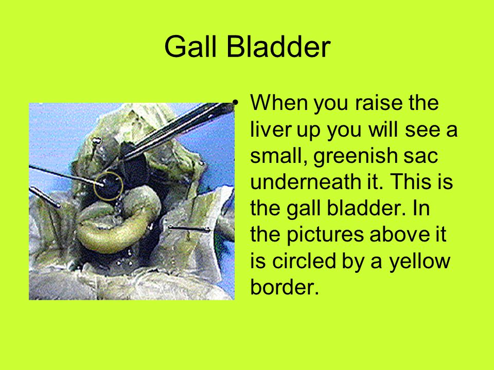 Gall Bladder When you raise the liver up you will see a small, greenish sac underneath it. This is the gall bladder. In the pictures above it is circl