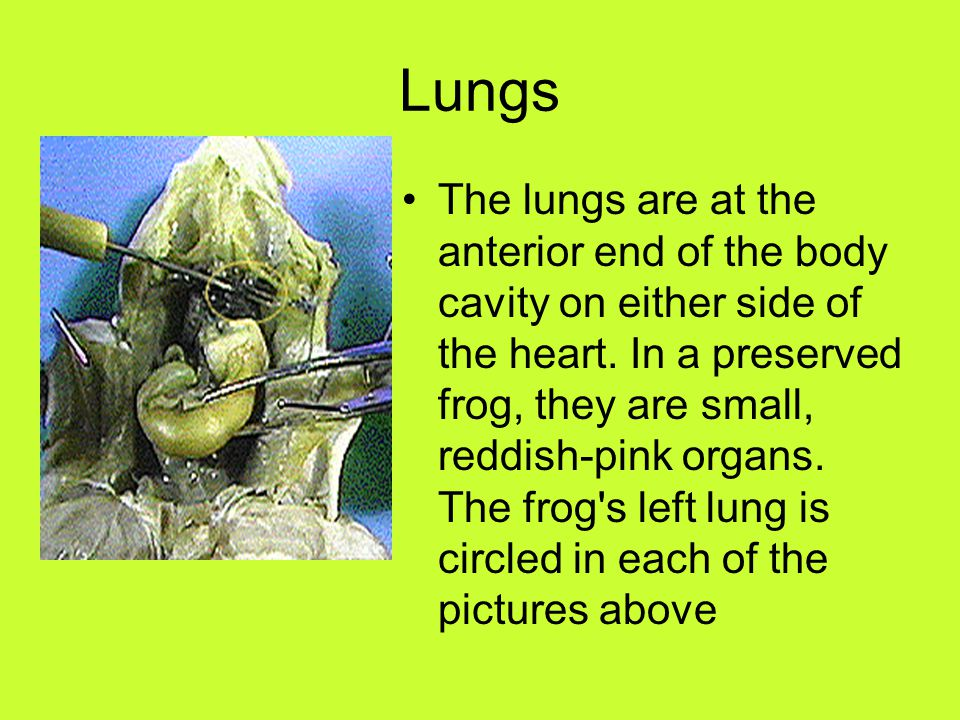 Lungs The lungs are at the anterior end of the body cavity on either side of the heart. In a preserved frog, they are small, reddish-pink organs. The