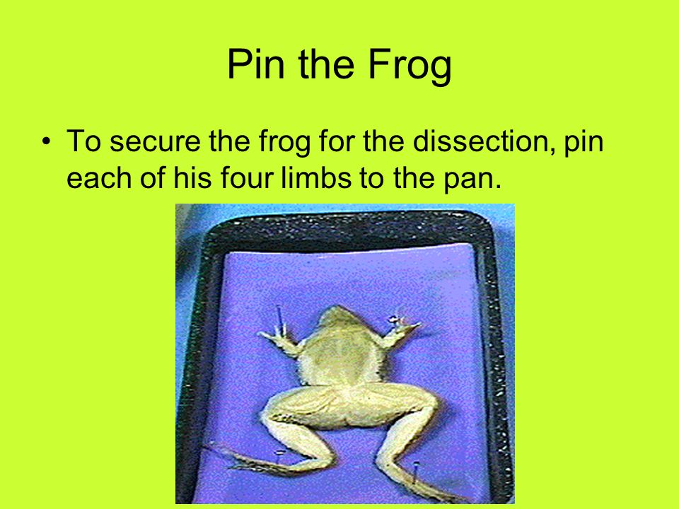 Begin the First Skin Incision Once the legs of the frog are securely pinned to the dissection tray you can start your first incision: Use the forceps to lift the skin midway between the rear legs of the frog.