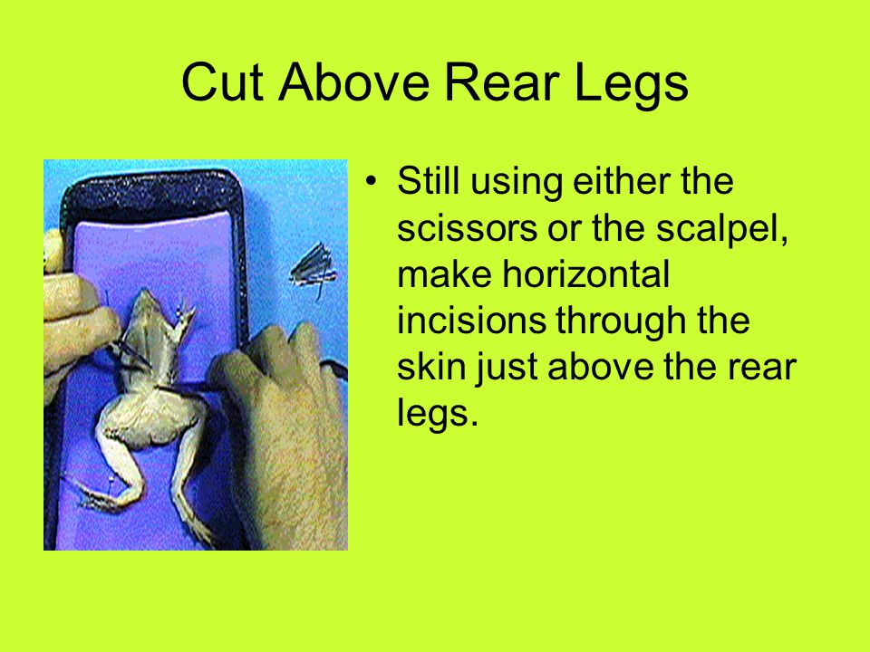 Separate Skin & Muscle Once you have finished the incisions between the front and rear legs of the frog you need to separate the skin flaps from the muscle below.
