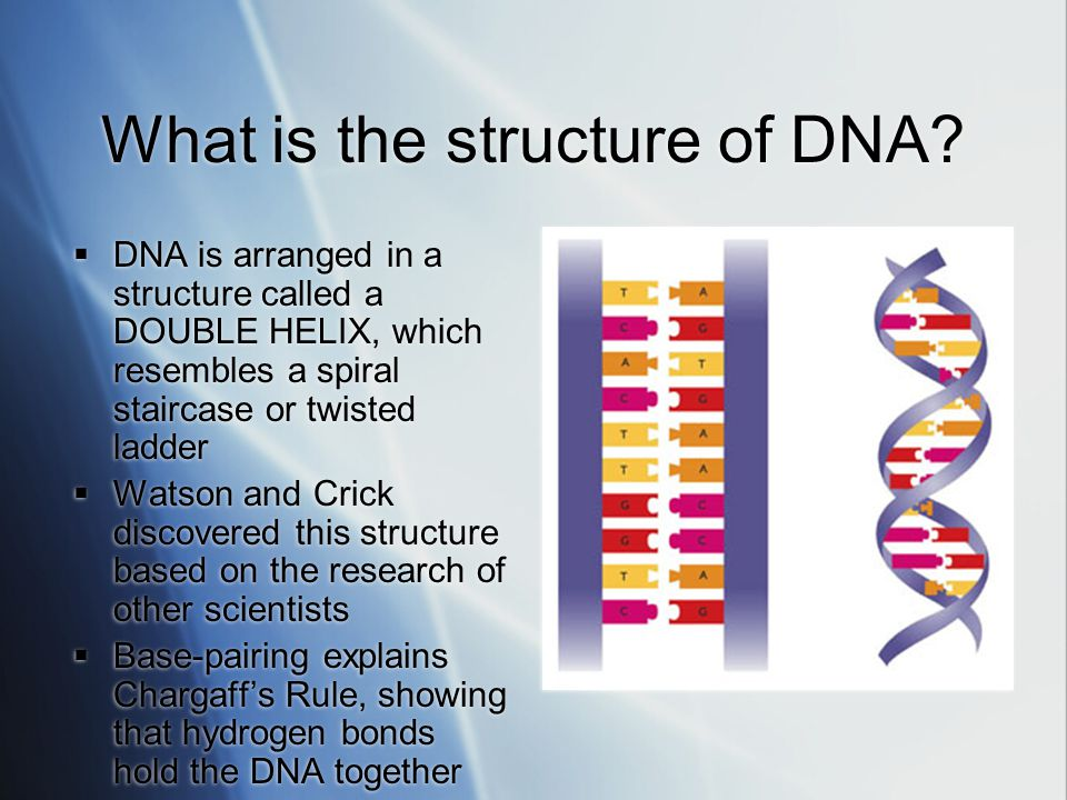 What is the structure of DNA?  DNA is arranged in a structure called a DOUBLE HELIX, which resembles a spiral staircase or twisted ladder  Watson an