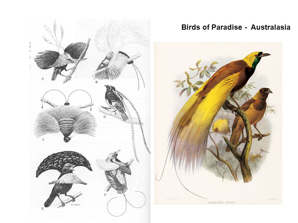 Birds of Paradise - Australasia