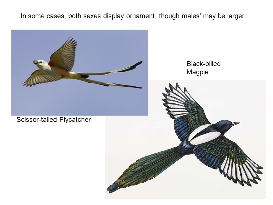 Scissor-tailed Flycatcher Black-billed Magpie In some cases, both sexes display ornament, though males' may be larger
