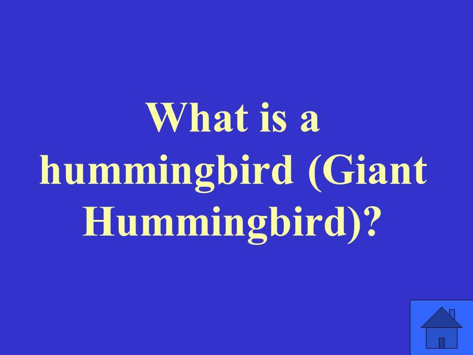 What is a hummingbird (Giant Hummingbird)