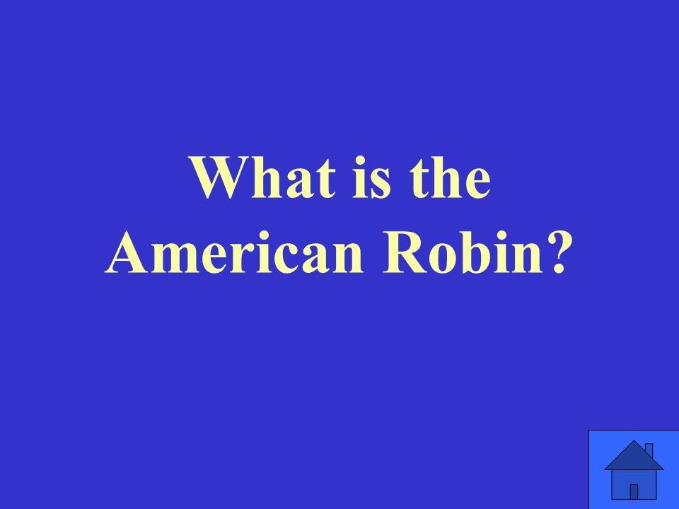 What is the American Robin