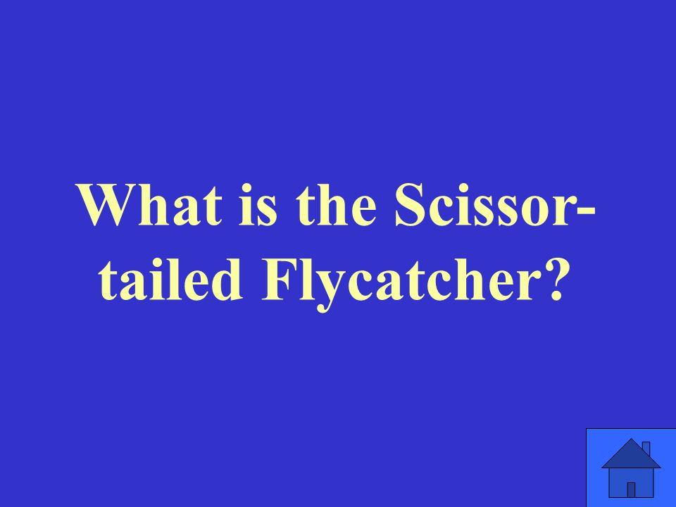 What is the Scissor- tailed Flycatcher