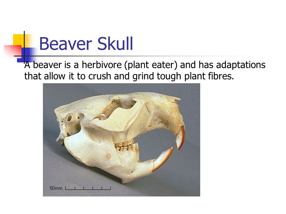 Beaver Skull A beaver is a herbivore (plant eater) and has adaptations that allow it to crush and grind tough plant fibres.