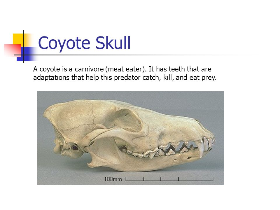 Coyote Skull A coyote is a carnivore (meat eater). It has teeth that are adaptations that help this predator catch, kill, and eat prey.