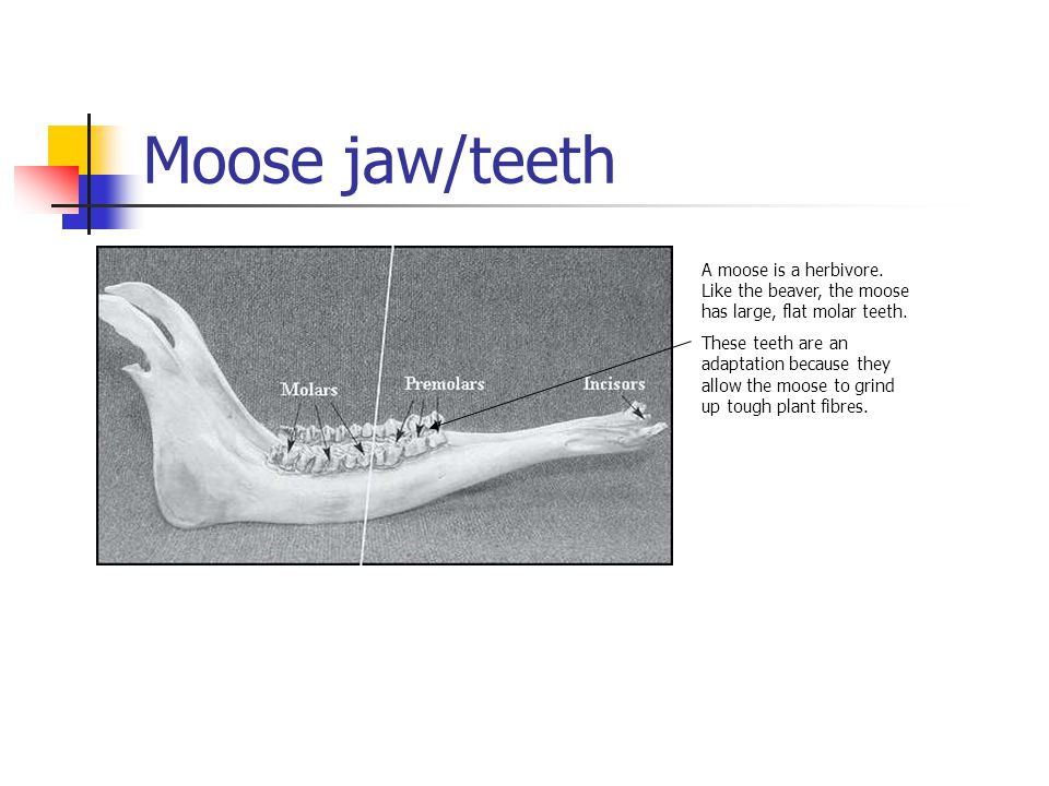 Moose jaw/teeth A moose is a herbivore. Like the beaver, the moose has large, flat molar teeth. These teeth are an adaptation because they allow the m