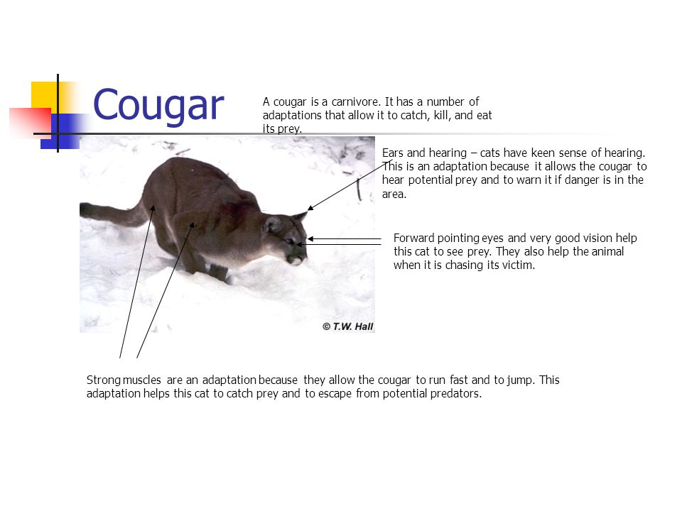 Cougar A cougar is a carnivore.