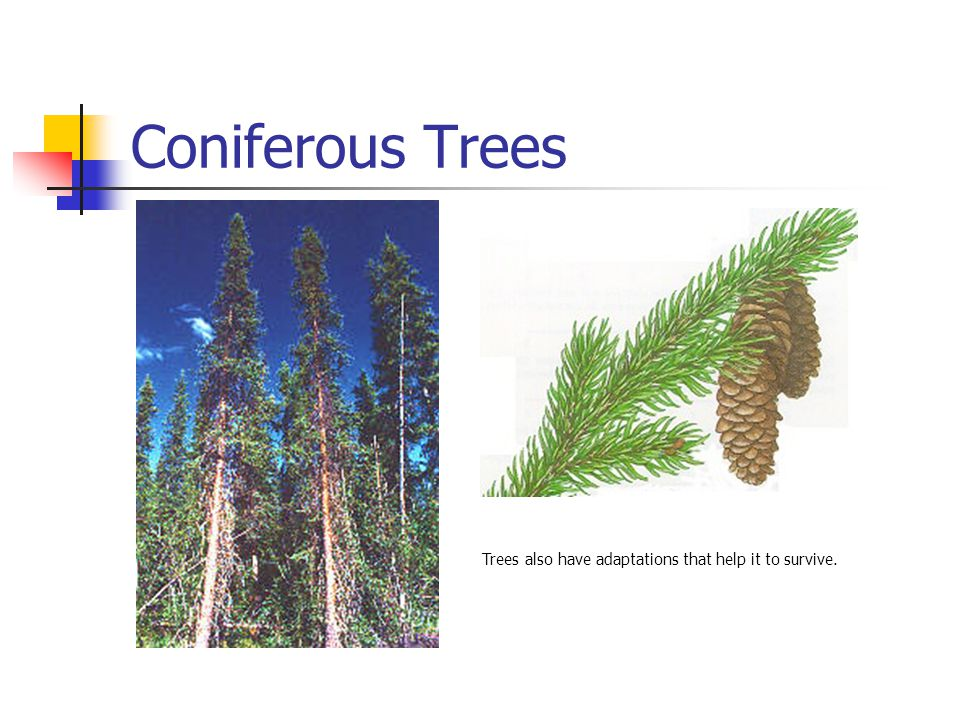 Coniferous Trees Trees also have adaptations that help it to survive.