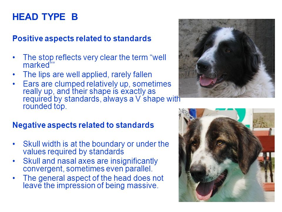 HEAD TYPE B Positive aspects related to standards The stop reflects very clear the term well marked The lips are well applied, rarely fallen Ears are clumped relatively up, sometimes really up, and their shape is exactly as required by standards, always a V shape with rounded top.