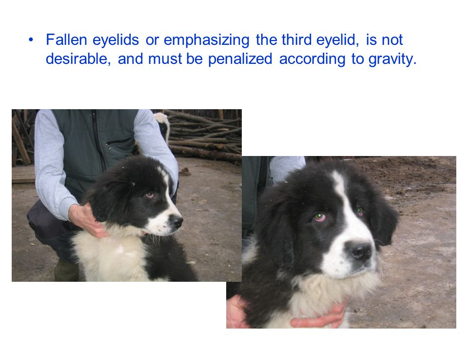 Fallen eyelids or emphasizing the third eyelid, is not desirable, and must be penalized according to gravity.