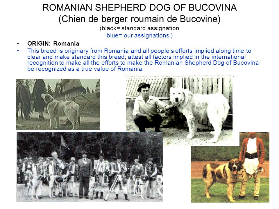 ROMANIAN SHEPHERD DOG OF BUCOVINA (Chien de berger roumain de Bucovine) (black= standard assignation blue= our assignations ) ORIGIN: Romania This breed is originary from Romania and all people's efforts implied along time to clear and make standard this breed, attest all factors implied in the international recognition to make all the efforts to make the Romanian Shepherd Dog of Bucovina be recognized as a true value of Romania.